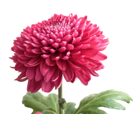 zoom_1_crisantemo-chrysanthemum